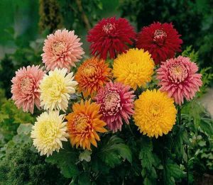 गुलदाउदी के गुण फूल की हिंदी में जानकारी