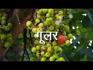 गूलर के फायदे गूलर का फूल का उपयोग हिंदी में