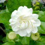 चमेली के गुण फूल के फायदे हिन्दी में जानकारी