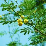 बबूल का पेड़ और फली के फायदे हिंदी में