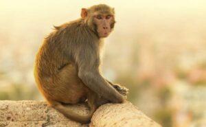सपने में बंदर देखना का मतलब क्या है स्वप्न फल हिंदी में