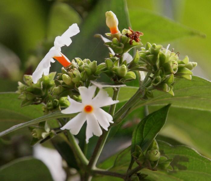हरसिंगार फूल