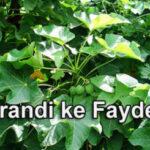 एरंड का पेड़ के गुण अरंडी के फायदे