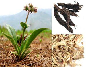 जटामांसी का उपयोग पौधे के गुण हिंदी