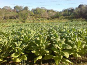 तंबाकू के फायदे हिंदी में