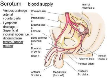 लिंग में खून का प्रभाव कैसे बढ़ाएं